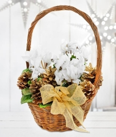 Christmas Cyclamen Basket